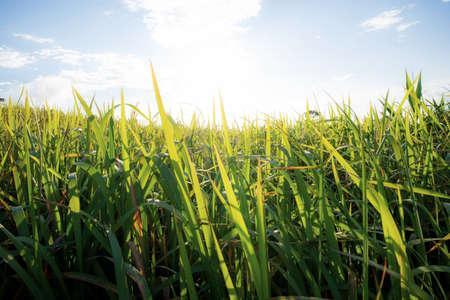 Green fields in the rainy season with morning sun. Standard-Bild