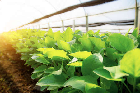 Organic vegetables are growing on plot with the sunlight.