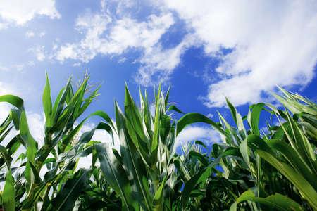 Corn tree on field in spring with the blue sky. Standard-Bild