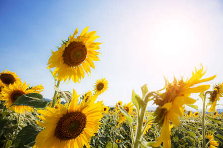 Sunflower in summer with the sunlight at sky.