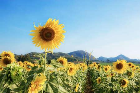 Sunflower in field of summer with the blue sky. Standard-Bild