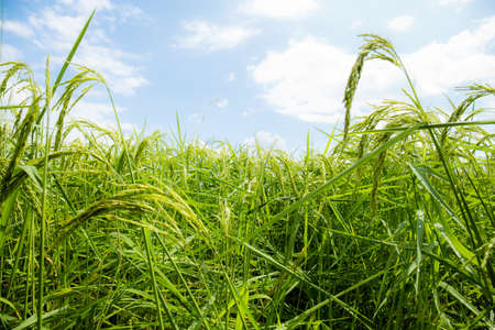 Green grains are growing on fields with the sky. Standard-Bild