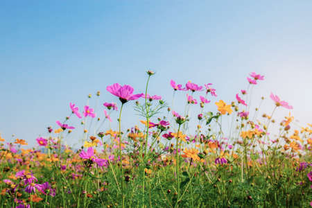 Cosmos in field at sunrise with the blue sky. Standard-Bild