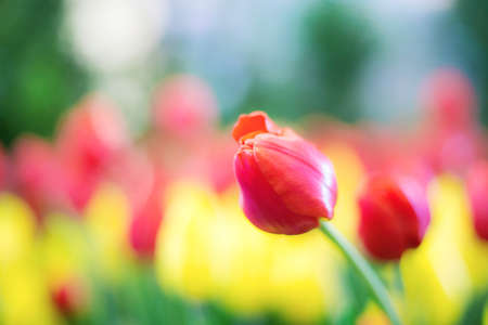 Red of tulip in garden with the colorful.