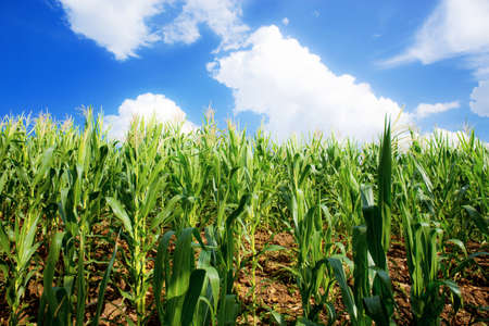 Corn field in spring with the blue sky.