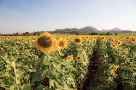 Field of sunflower in summer with the sky.