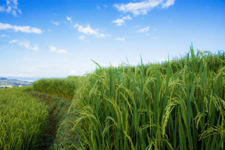Rice field on hill in spring with blue sky.