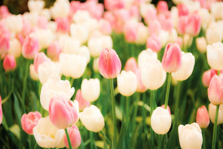 Pink of tulip in garden with the colorful.