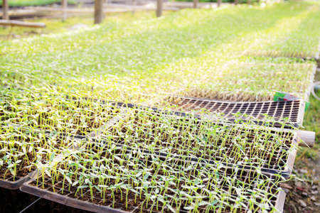 Organic vegetable sprouts on plot of greenhouses with sunlight.