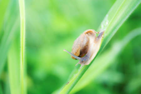 Snail on leaves grass in the rainy season.