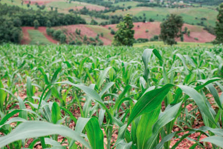 Corn growing on the hillside in Thailand.