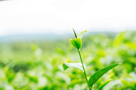 Growing tea with freshness on a green background.
