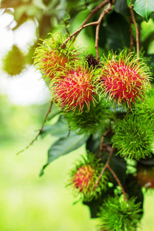 rambutans on the tree with green background.