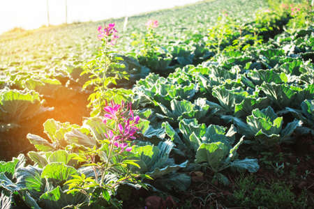 flower and cabbage on the field in the morning.