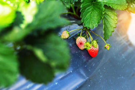 Strawberry on the plants in the garden on the mountain.