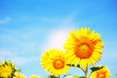 Sunflower with a beautiful at the blue sky. Standard-Bild