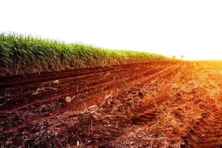 Sugarcane on the dry cracked ground with the hot daytime.