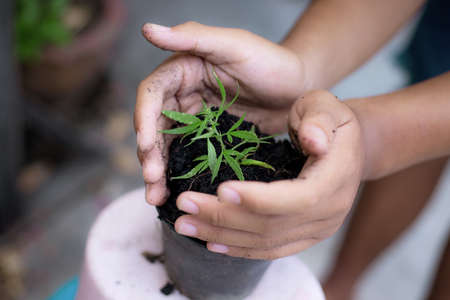 Farmer with cannabis seedling planted in a pot.
