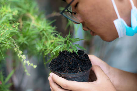 Young of medical researcher holds a cannabis seedling on pot in the garden. Standard-Bild