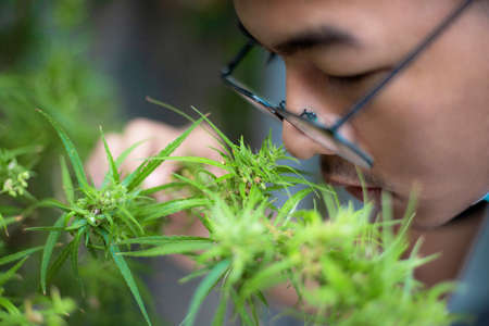 Asian medical researchers hold cannabis branches in the garden.