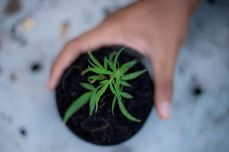 Hand of farmer holds a pot of marijuana seedlings on the ground.