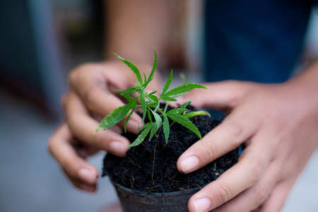 Hands of farmer with cannabis seedling planted in a pot.