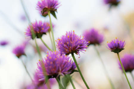 Purple wild flowers with natural of beauty.