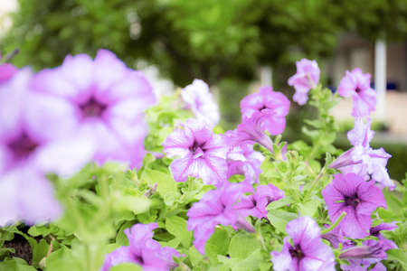 Purple flowers blooming with the beautiful in winter.