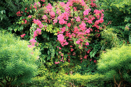 Pink flowers of blooming with the beautiful in garden.