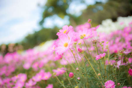 Pink cosmos flowers of blooming with the beautiful in winter. Standard-Bild