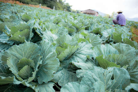 Cabbage on plantation in farm with the sky.