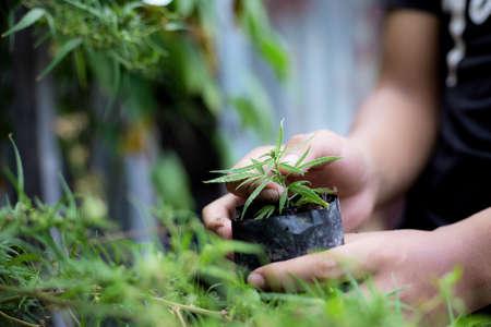 Hand of the gardeners holding cannabis plant in farm. Standard-Bild