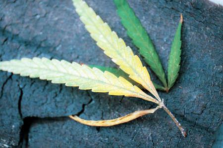 Marijuana leaves dry on wooden floor. Standard-Bild