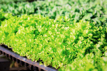 Celery vegetable are growing in greenhouse with background. Standard-Bild