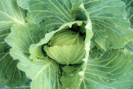 Cabbage in farm with texture background.