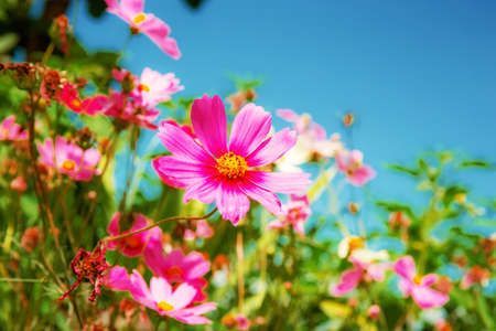 Pink cosmos with the sunlight at sky.