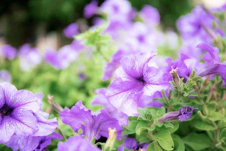 Purple flower with the beautiful in garden. Standard-Bild