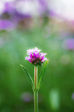 Purple of head flower in field are growing with the natural background.