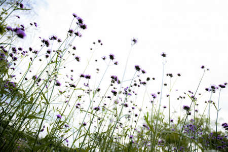 Purple of head flower in field with the natural at sky background.