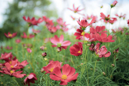 Red of cosmos flower in field with the sunlight.