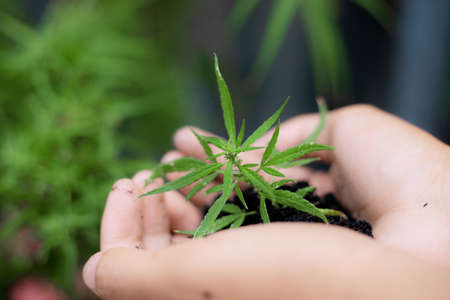 Hand of gardener holds cannabis ready to plant.