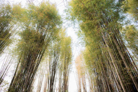 Bamboo tree in forest with the sky.