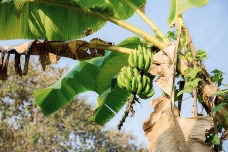 Banana on tree in farm with the sky. Standard-Bild