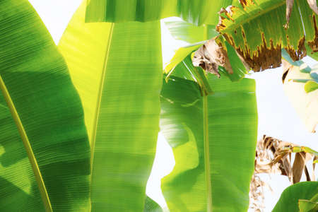 Banana leaves on tree in farm with the sunlight.