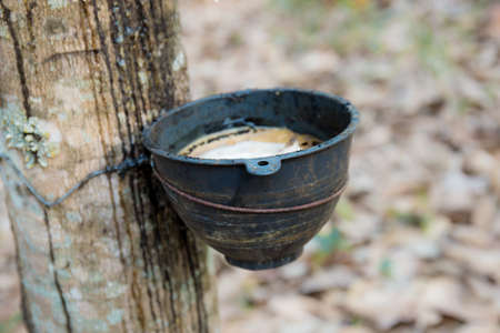 Old bowl on rubber tree in countryside.