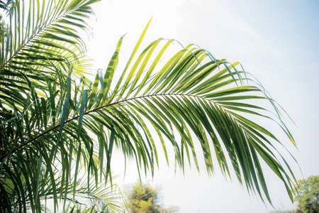 Palm leaves on tree in park with the sky.