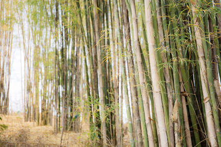 Bamboo tree in forest with the sunlight. Standard-Bild