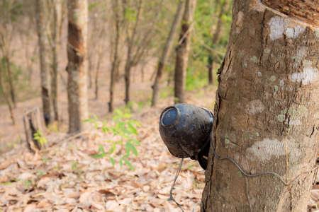 Bowl on rubber tree in farm with sunrise.