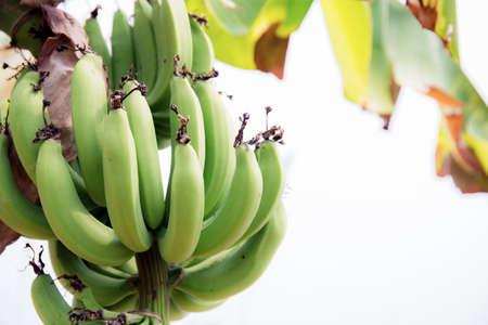 Banana raw on tree with the sunlight at sky. Standard-Bild
