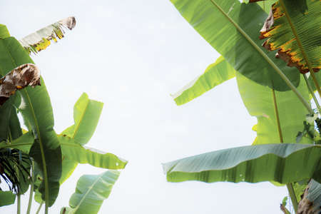 Banana leaves on tree in farm with the sky.